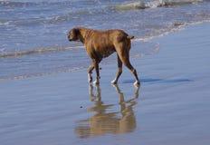 Cão na ressaca fotos de stock royalty free