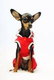Cão na roupa vermelha Imagens de Stock Royalty Free