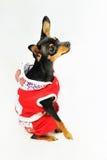 Cão na roupa vermelha Foto de Stock