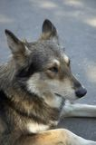 Cão na rua Foto de Stock Royalty Free