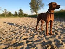 cão na sombra longa da praia Foto de Stock Royalty Free