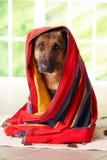 Cão na toalha Fotografia de Stock