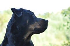 Cão - nariz preto Imagens de Stock Royalty Free