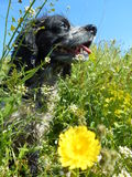 Cão nas flores Fotografia de Stock Royalty Free