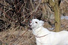 cão Neve-branco sem uma raça para uma caminhada em um jardim do sono fotos de stock royalty free