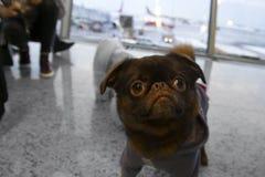Cão no aeroporto imagens de stock