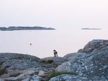 Cão no arquipélago Fotografia de Stock