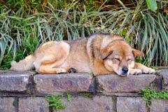 Cão no assento, sleepping Imagens de Stock