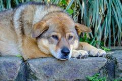 Cão no assento, sleepping Fotos de Stock