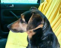 Cão no banco traseiro de um carro Imagens de Stock Royalty Free