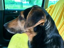 Cão no banco traseiro de um carro Fotografia de Stock Royalty Free