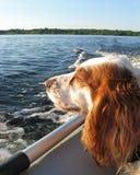 Cão no barco fotografia de stock