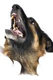 Cão no branco Fotos de Stock