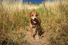 Cão no campo Imagem de Stock