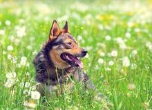 Cão no campo fotografia de stock