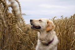 Cão no campo Imagem de Stock Royalty Free