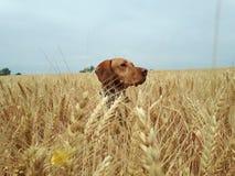 cão no campo Imagens de Stock Royalty Free