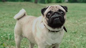 Cão no campo, parque, pug video estoque