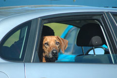 Cão no carro imagens de stock