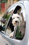 Cão no carro Fotografia de Stock Royalty Free