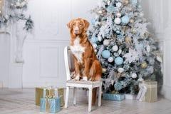 Cão no cenário, o feriado e o ano novo, o Natal, o feriado e o feliz imagens de stock royalty free
