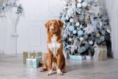 Cão no cenário, o feriado e o ano novo, o Natal, o feriado e o feliz fotos de stock royalty free
