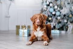 Cão no cenário, o feriado e o ano novo, o Natal, o feriado e o feliz fotos de stock