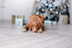 Cão no cenário, o feriado e o ano novo, o Natal, o feriado e o feliz foto de stock