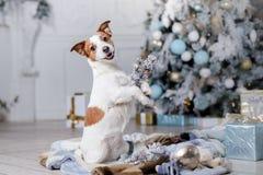Cão no cenário, o feriado e o ano novo, o Natal, o feriado e o feliz imagem de stock royalty free
