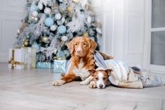 Cão no cenário, o feriado e o ano novo, o Natal, o feriado e o feliz fotografia de stock