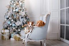 Cão no cenário, o feriado e o ano novo, o Natal, o feriado e o feliz fotografia de stock royalty free