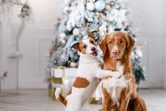 Cão no cenário, o feriado e o ano novo, o Natal, o feriado e o feliz Foto de Stock Royalty Free