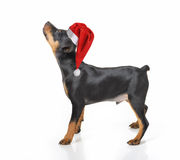 Cão no chapéu de Santa Foto de Stock