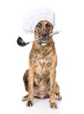 Cão no chapéu do cozinheiro chefe que guarda a concha na boca No branco Imagens de Stock Royalty Free