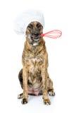 Cão no chapéu do cozinheiro chefe que guarda um batedor de ovos do fio na boca Isolado no whi Imagem de Stock