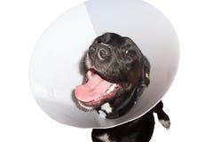 Cão no colar elizabethian Imagem de Stock