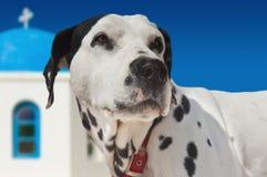Cão no console de Santorini Imagem de Stock
