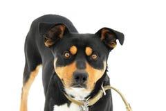 Cão no fundo branco imagem de stock royalty free