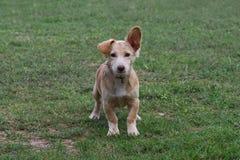 Cão no fundo da grama Imagens de Stock Royalty Free