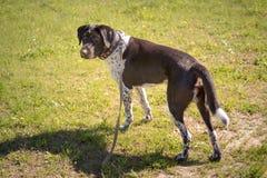 Cão no fundo de uma pera verde do prado fotografia de stock