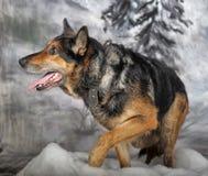 Cão no inverno Fotografia de Stock