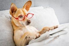 Cão no jornal da leitura da cama imagens de stock