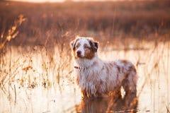Cão no lago Imagens de Stock