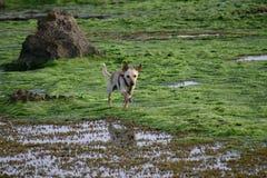 Cão no mar Imagens de Stock