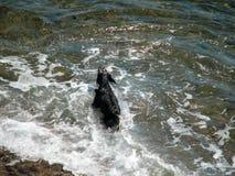 Cão no mar Fotos de Stock Royalty Free