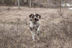 Cão no movimento Imagem de Stock Royalty Free