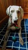 Cão no mundo imagens de stock