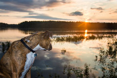 Cão no nascer do sol de observação do lago Fotografia de Stock
