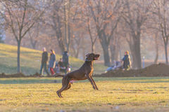 Cão no parque Fotos de Stock Royalty Free