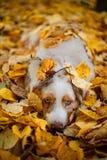 Cão no parque do outono Imagem de Stock